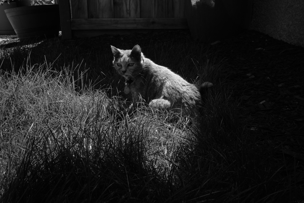 A black and white photo of our cat, sitting in some tall grass watching every movement of the blades and or insects that I cannot see.