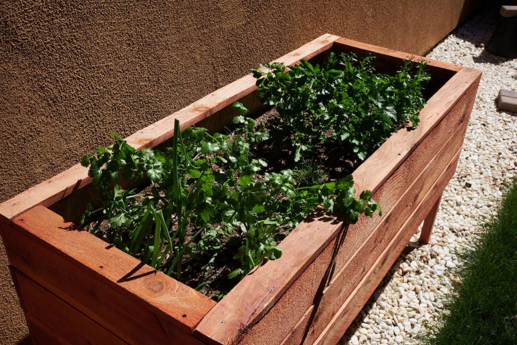 a redwood raised garden with different herbs. Parsley and cilantro are very full and tall, taking over most of the space from the green onions, chives, basil, and rosemary.