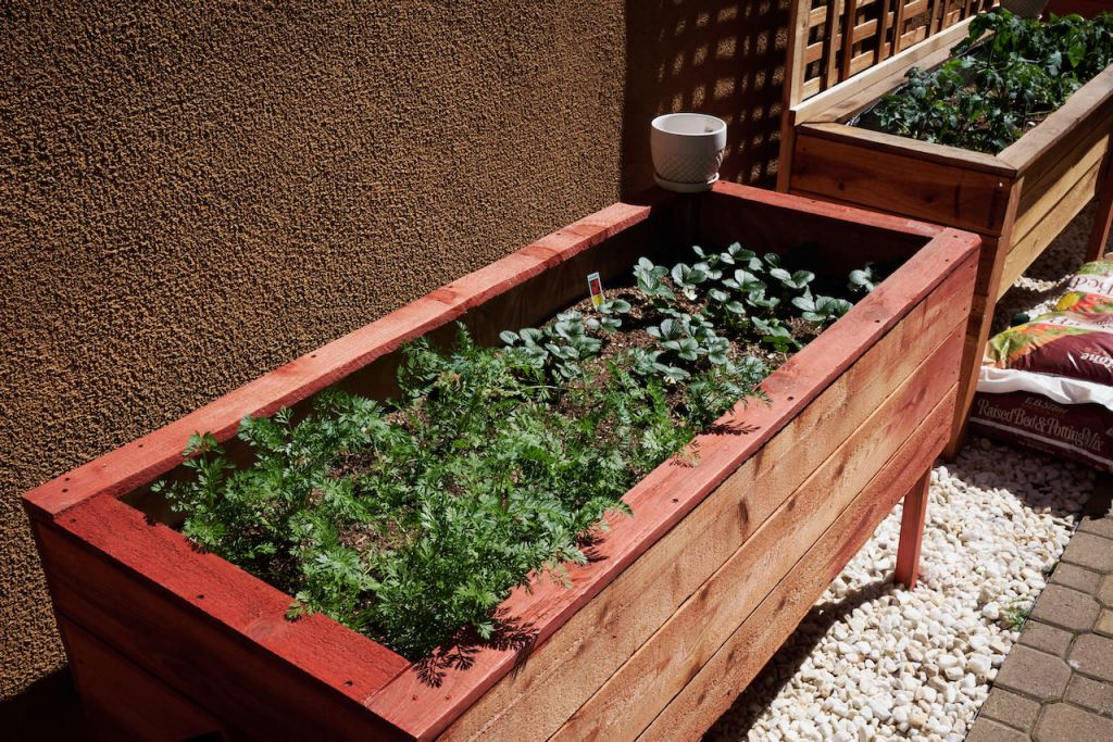 a redwood raised garden with carrots and seascape strawberries. The carrot tops are around 6 inches high. The strawberries are still low to the soil but are full.